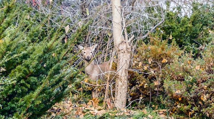 Deer perturbed